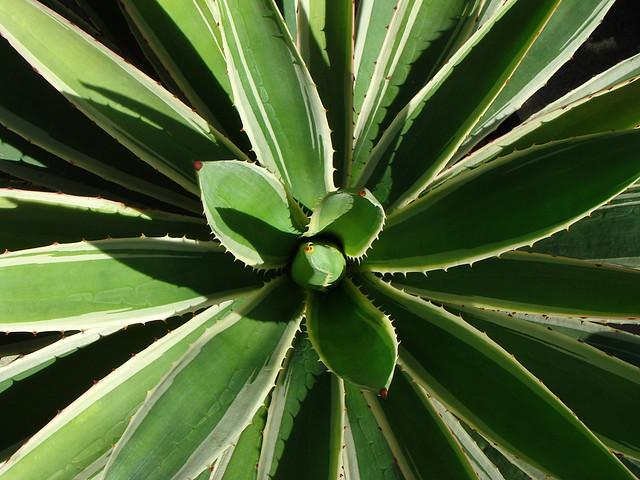 Agave Angustifolia Marginata Variegated Century Plant