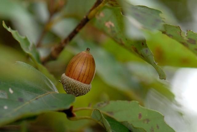 081011 Acorn of Quercus serrata Murray ドングリ・コナラ 01