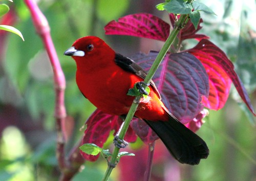 Brazilian Tanager - farm4.staticflickr.com