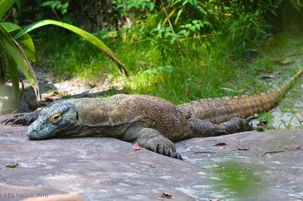 22. Komodo dragon