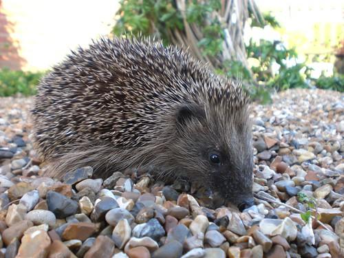 Hedgehog by XWiz