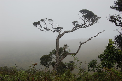 The knarled trees, the dark red Rhododendran, found only at Horton Plains flick image by environmentlanka