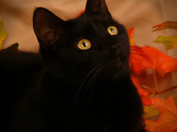 Autumn : Black Cat Portrait