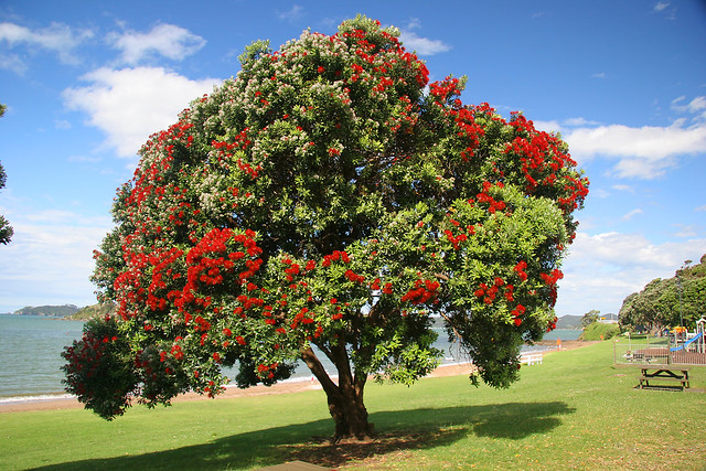 Pōhutukawa tree - Waitangi
