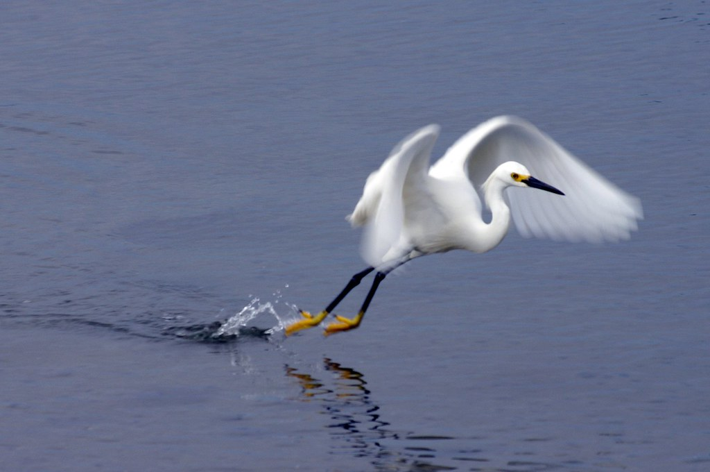 Snowy Egret Leaping out of the water and beginning flight