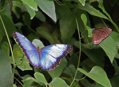 Butterfly Blue Morpho