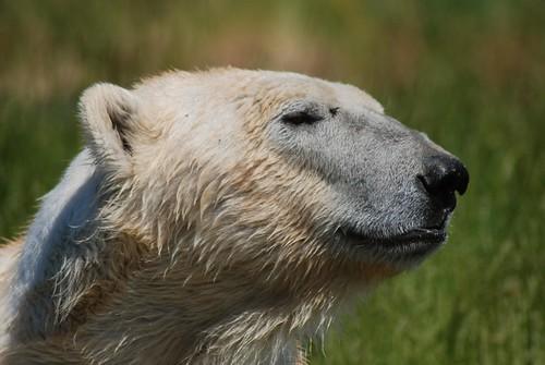Eisbär Nanook im Skandinavisk Dyrepark