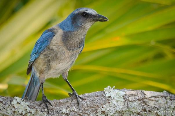 Florida Scrub Jay watches us