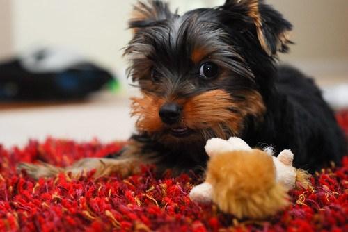 chew toy