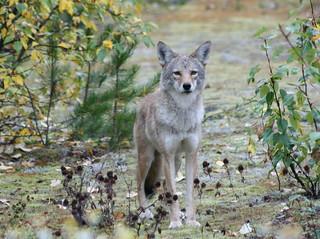 coyote_04