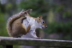 breakdancing squirrel