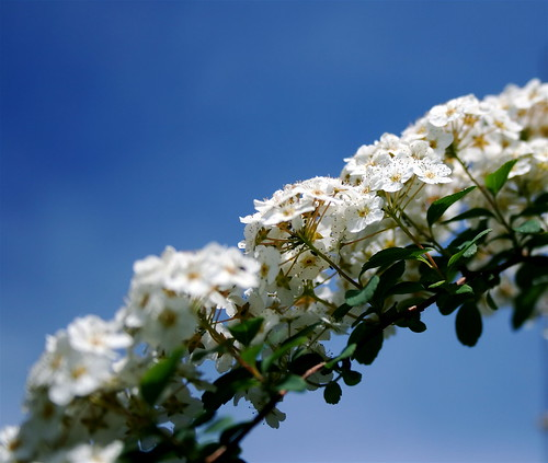 """""""White on Blue"""" garden photo copyright Jen Baker/Liberty Images; all rights reserved. Pinning to this page is okay."""