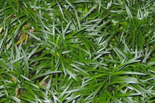 百合科 沿階草屬 矮生沿階草(葉) 綠世界 Ophiopogon japonicus