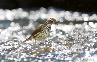 Louisiana Waterthrush foraging in the Eno River, NC by Bill Majoros (CC BY-SA)
