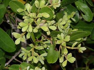 Mangle blanco (Laguncularia racemosa)
