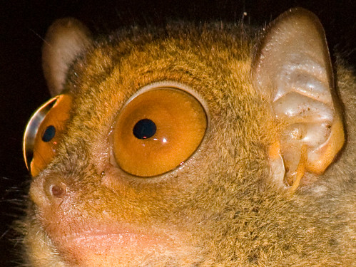 Tarsier eyes by Erwin Bolwidt