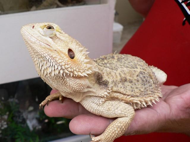 Bearded Dragon Flickr Photo Sharing