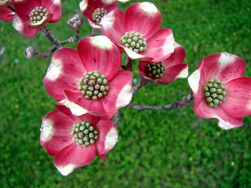 Early pink dogwood flower heads