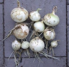 Onion-Lockyer-7925