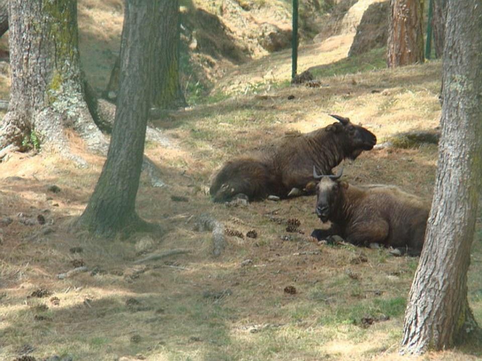 Bhutan-Timbu-Takin-Zoologico de Sangaygan 01