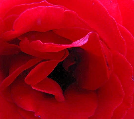 Red Rose in English Garden at BFW