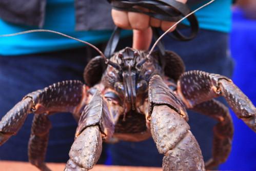 Giant Coconut Crab via Edward Wang (http://www.flickr.com/people/ewang78/)