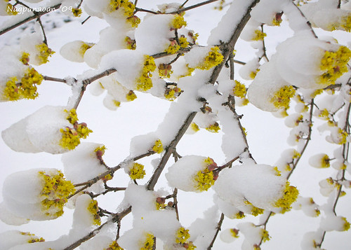 Snow Covered Flower