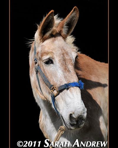Rosebud, official mascot of Central Virginia Horse Rescue