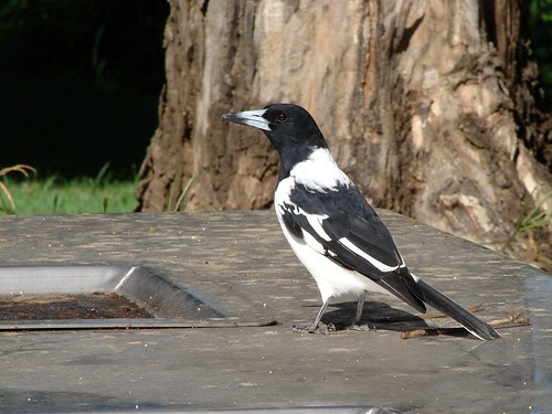 Pied butcherbird by Tatters:)