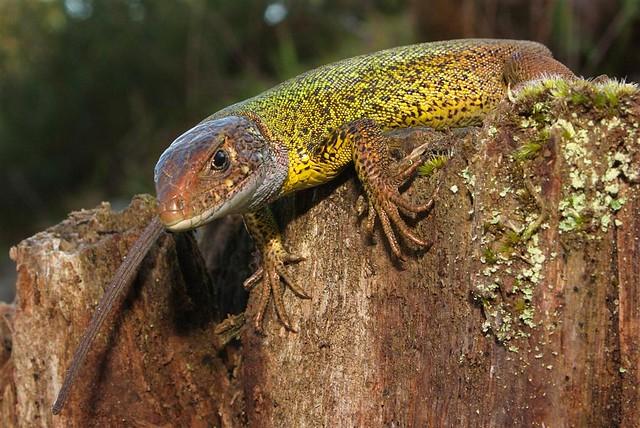 Lagarto-de-água, jovem / Schreiber's green lizard, young (Lacerta schreiberi)