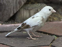 Leucistic House Sparrow by phenolog, on Flickr