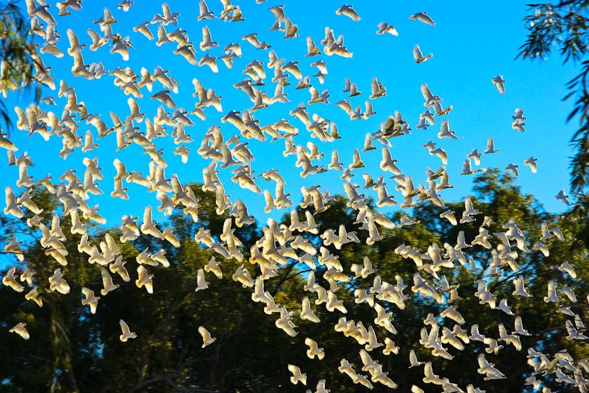 Hunderte weisse Kakadus!