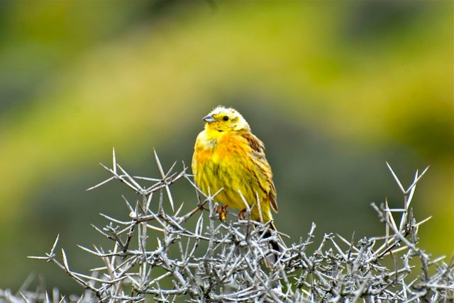 This is not a Fantail, it's a Yellowhammer