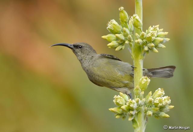 Sunbird female on Kalanchoe luciae flowers
