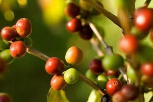 Cerise du café