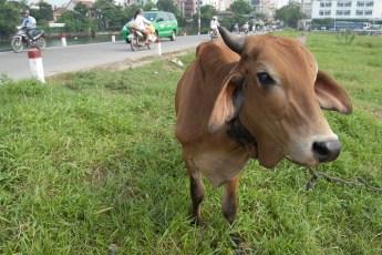 Kuh in Hue