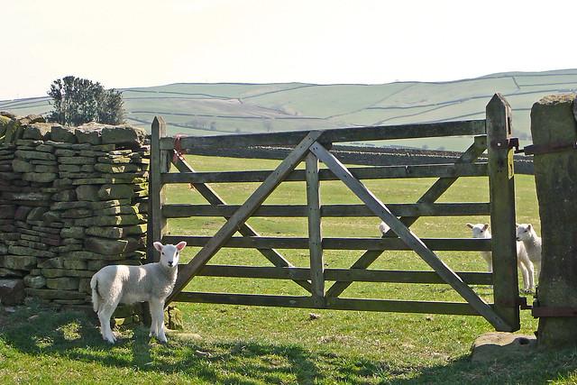 Sheep and gate