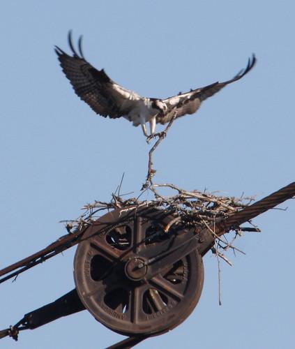 Osprey (Pandion haliaetus) 8