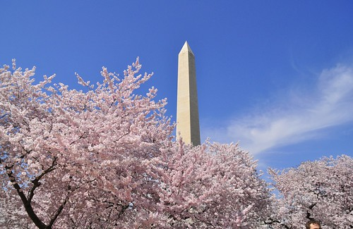 Washington Monument and Cherry Blossom Trees