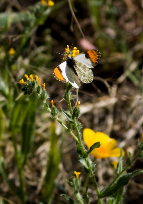 butterfly and fiddleneck