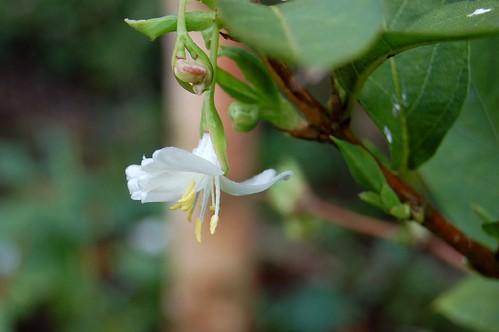 Winter flowering honeysuckle, Winter honeysuckle
