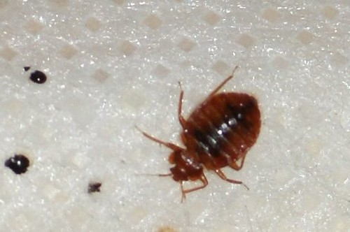 13-effective-ways-to-get-rid-of-bed-bugs-without-using-chemicals-happyhome