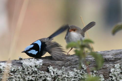 Malurus cyaneus (Superb Fairy-wren)