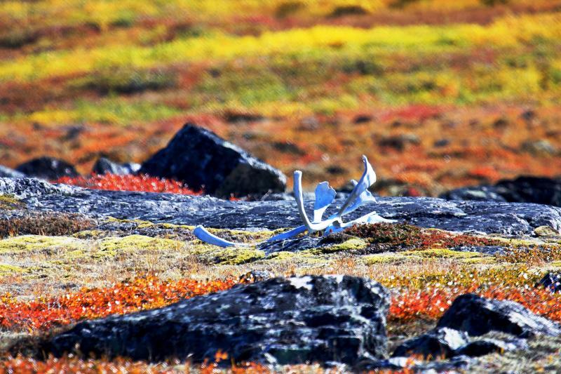 Caribou antler at trundra