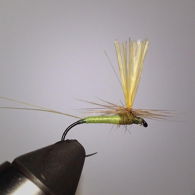 heptagenia sulphurea mayfly