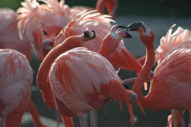 The pinkish Flamingos