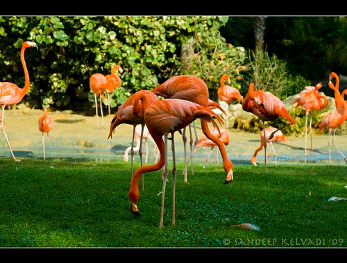 Busch Gardens_Bird park - Flamingoes