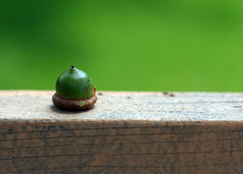 acorn 188/365 by linaloo1