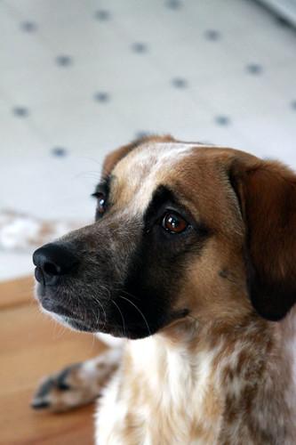 My dog, Fae. A Boxer / Hound mix.