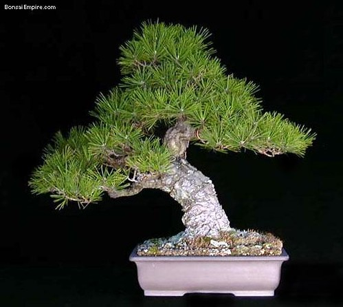 top-bonsai-gallery-l-63